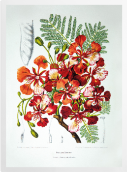 'Royal Poinciana [Poinciana regia]' Art Prints