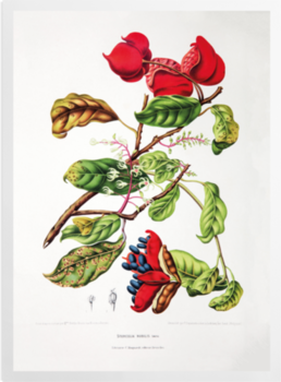 'Chinese Chestnut [Sterculia nobilis]' Art Prints