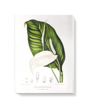 'Peace Lily [Spathiphyllopsis minahassae]' Canvas Wall Art