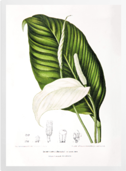 'Peace Lily [Spathiphyllopsis minahassae]' Art Prints