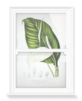 'Peace Lily [Spathiphyllopsis minahassae]' Decorative Window Film