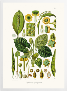 'Spathicarpa Hastifolia' Art prints