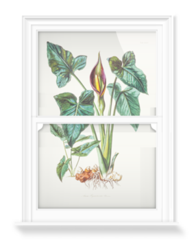 'Arum Concinnatum Study' Decorative window films