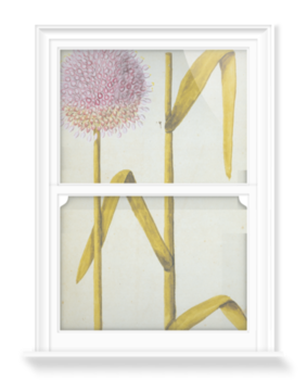 'Allium Moly' Decorative Window Film