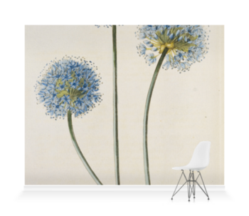 'Allium caeruleum' Wallpaper Mural