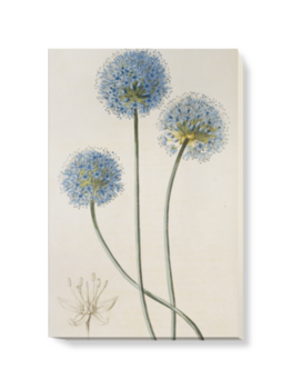 'Allium caeruleum' Canvas Wall Art