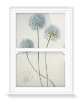 'Allium caeruleum' Decorative Window Film