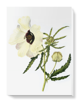 'Hibiscus trionum' Canvas Wall Art