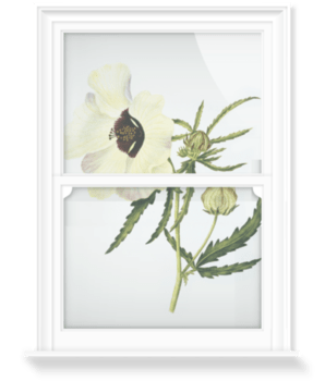 'Hibiscus trionum' Decorative Window Film