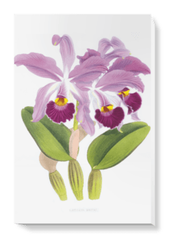 'Cattleya whitei' Canvas Wall Art