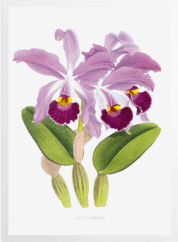 'Cattleya whitei' Art Prints