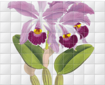 'Cattleya whitei' Ceramic Tile Mural