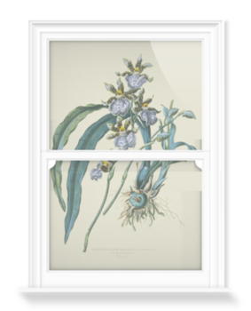 'Zygopetalum mackoii' Decorative Window Film