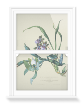 'Zyqopetalum maxillare, Cycnoches, Ventricosum, Chlorochilon' Decorative Window Film