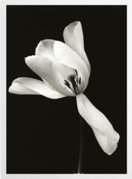 'White Tulip' Art Prints