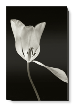 'White Tulip II' Canvas Wall Art