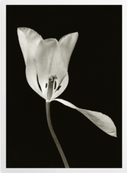 'White Tulip II' Art Prints