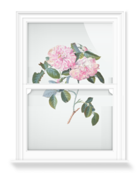 'Striped Monthly Rose' Decorative Window Film