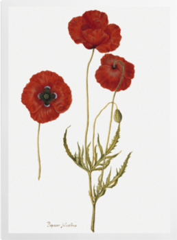 'Corn Poppy' Art Prints