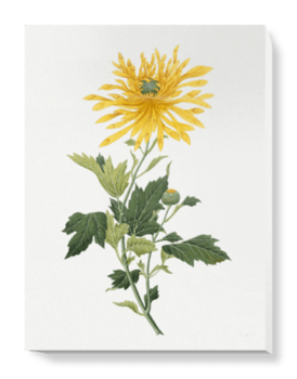 'Study of a Chrysanthemum' Canvas Wall Art