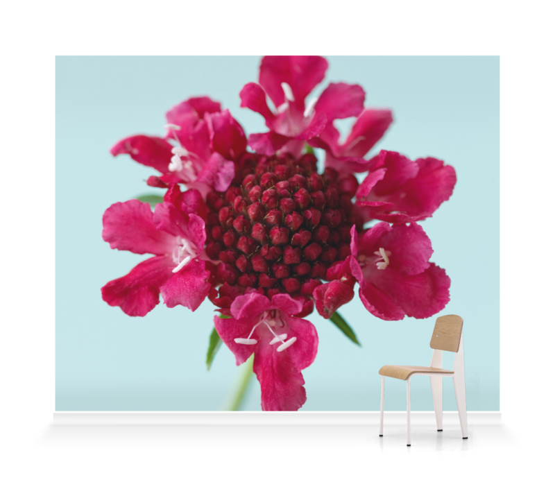 'The Flower of Scabiosa Chilli Pepper I' Wallpaper Mural