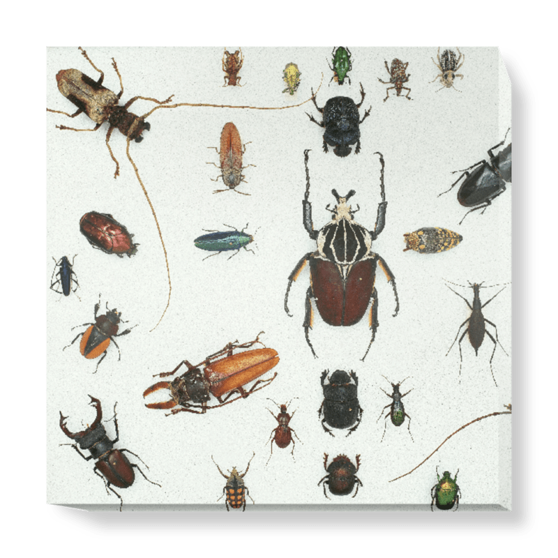 'Various Beetles 3' Canvas Wall Art
