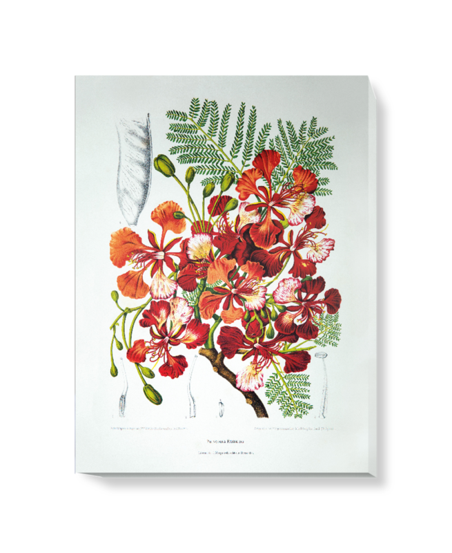 'Royal Poinciana [Poinciana regia]' Canvas Wall Art