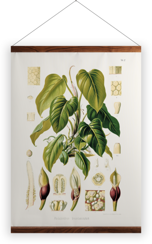 'Philodendron Fragrantissimum' Wall hangings