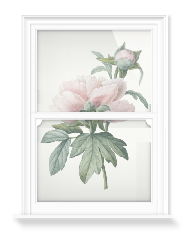 'Paeonia lactiflora' Decorative Window Film